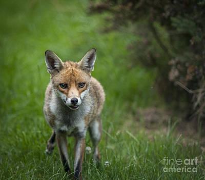 Fox Art Print by Philip Pound