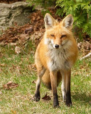 Foxes Photograph - Fox Portrait by Brian Caldwell