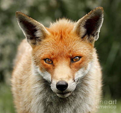 Photograph - Fox Portrait by Lisa Cockrell