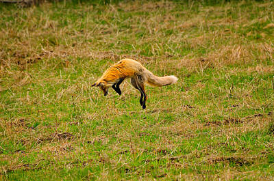 Photograph - Fox Pounce by Greg Norrell