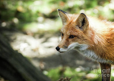 Photograph - Fox Profile by Lisa L Silva