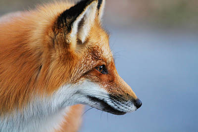 Fox Profile Art Print by Mircea Costina Photography
