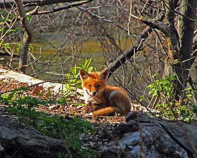Photograph - Fox Pup 2 by Scott Hovind