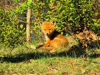 Photograph - Fox Pup by Scott Hovind