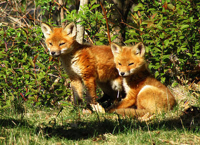 Photograph - Fox Pups by Scott Hovind
