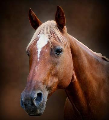 Fox - Quarter Horse Art Print by Sandy Keeton
