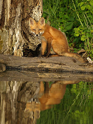 Fox Reflection Art Print
