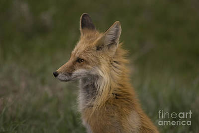 Photograph - Fox by Reva Dow