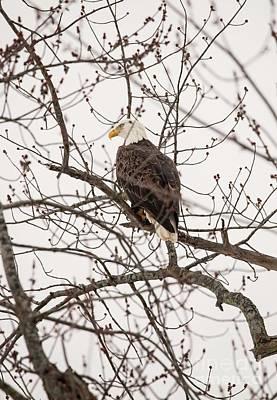 Photograph - Fox River Eagles by David Bearden