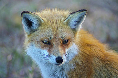 Photograph - Fox by Robert Geary