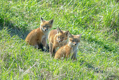 Photograph - Fox Siblings by Cheryl Baxter