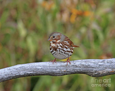 Grey Photograph - Fox Sparrow by Gary Wing