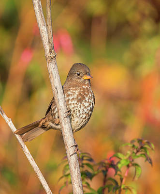 Photograph - Fox Sparrow In The Afternoon Light by Loree Johnson