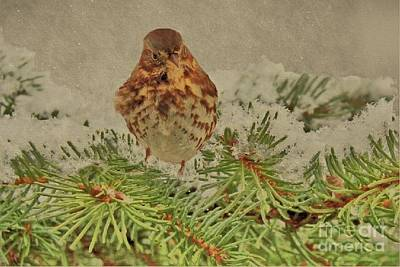 Photograph - Fox Sparrow In Winter by Janette Boyd