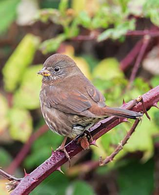 Photograph - Fox Sparrow On The Blackberry Vine by Loree Johnson