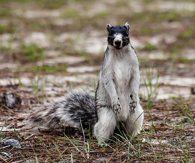 Photograph - Fox Squirrel 2  by Debra Forand