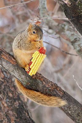 Photograph - Fox Squirrel And Corn by Bernard Lynch