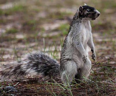Photograph - Fox Squirrel by Debra Forand