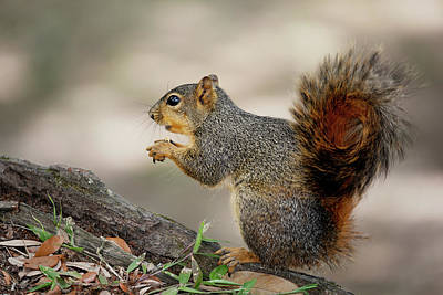 Photograph - Fox Squirrel by Nicholas Blackwell