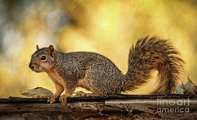 Photograph - Fox Squirrel Profile by Robert Bales