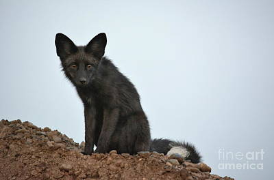 Photograph - Fox Stare by Vivian Martin