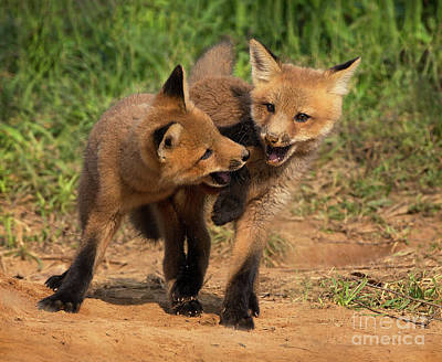 Photograph - Fox Tango by Art Cole