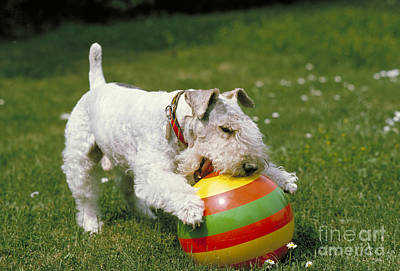 Fox Terrier With Ball Art Print by Frederick Ayer III