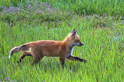Photograph - Fox Trot by Alana Thrower