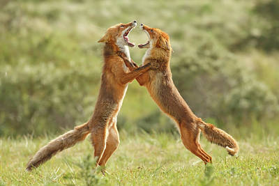 Bitch Photograph - Fox Trot - Fighting Red Foxes by Roeselien Raimond