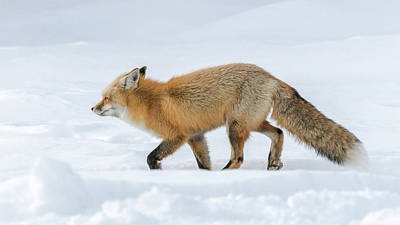 Photograph - Fox Trot In Snow by Yeates Photography