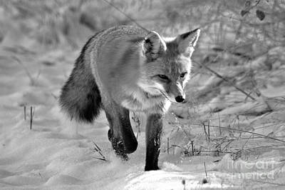Photograph - Fox Trot In The Snow Black And White by Adam Jewell