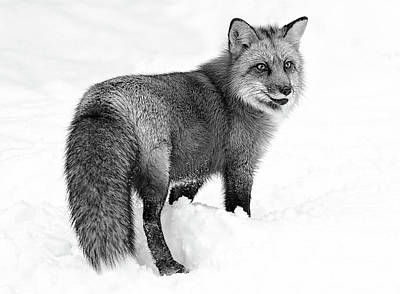Pointy Ears Photograph - Fox Winter Bound Black And White by Athena Mckinzie