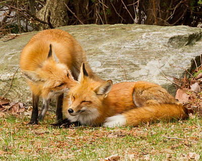 Photograph - Foxes In Love by Brian Caldwell