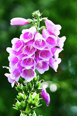 Photograph - Foxglove by Albert Seger
