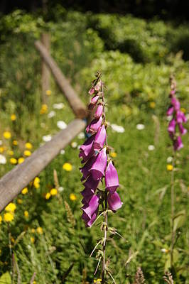 Photograph - Foxglove by Angi Parks