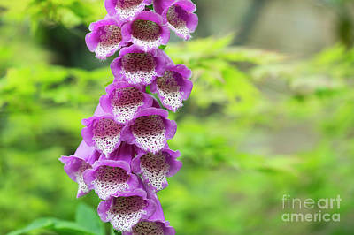 Photograph - Foxglove Flowering by Tim Gainey
