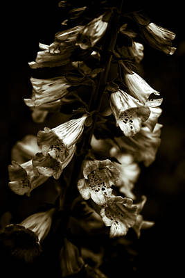 Portraits Photograph - Foxglove Flowers by Frank Tschakert