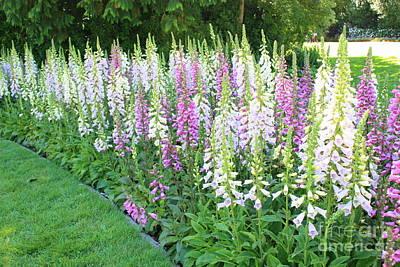 Foxglove Flowers Photograph - Foxglove Garden by Carol Groenen