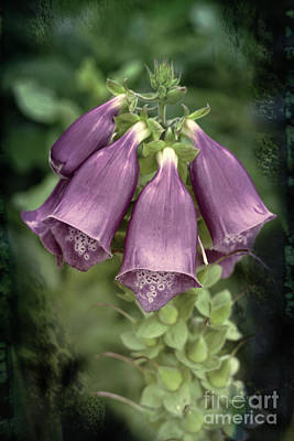 Photograph - Foxglove by Lynn Bolt