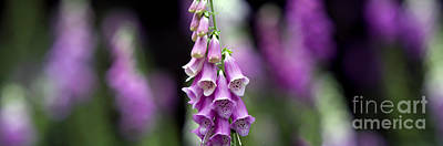 Foxglove Flowers Photograph - Foxglove Panoramic by Tim Gainey