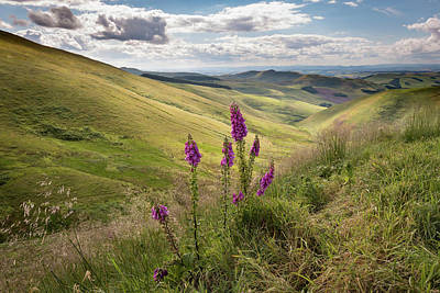 Photograph - Foxgloves In The Cheviots by Gary Eason