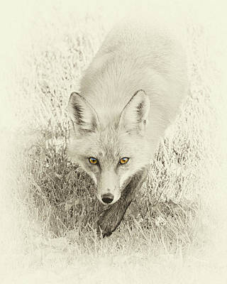 Photograph - Fox's Gaze by Brian Caldwell