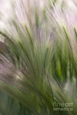 Photograph - Foxtail Barley by Katie LaSalle-Lowery