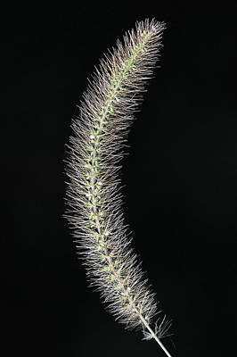 Photograph - Foxtail Grass Stony Brook New York by Bob Savage