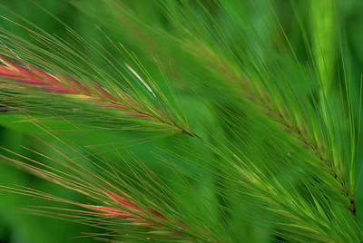 Photograph - Foxtails by John Farley
