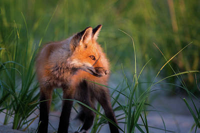 Photograph - Foxy 2017 by Bill Wakeley