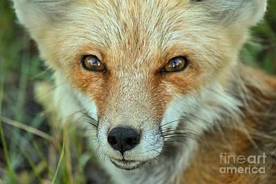 Photograph - Foxy by Adam Jewell