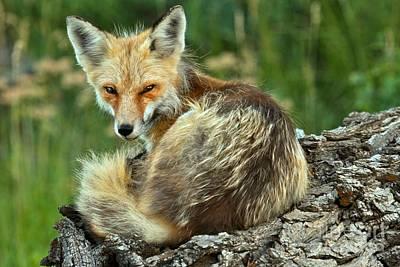 Photograph - Foxy And Sleepy by Adam Jewell