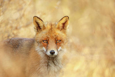 Foxy Faces Series- That Look Art Print by Roeselien Raimond