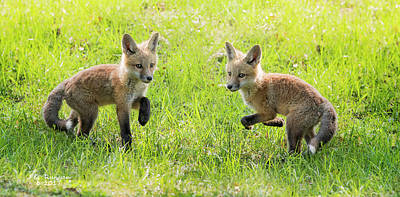 Photograph - Foxy Footwork by Peg Runyan